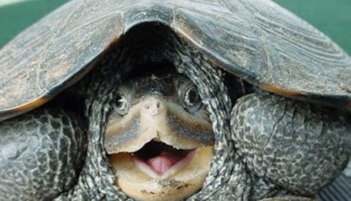 LR Turtle